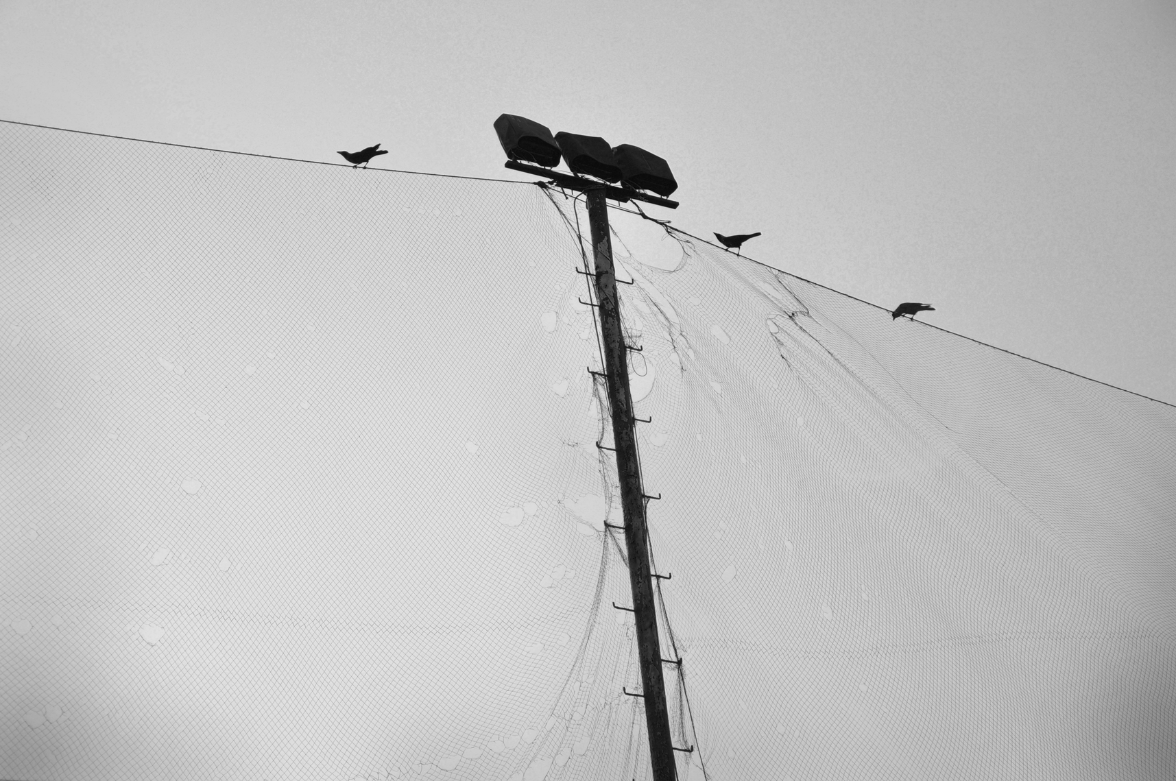 crows on street lights